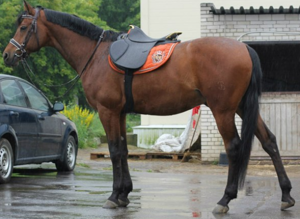 Седло офицерское (Беларусь) купить в интернет магазине конной амуниции